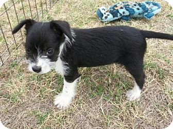Terrier (Unknown Type, Small) Mix Puppy for adoption in San Antonio, Texas - Viper