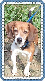 Beagle Dog for adoption in Marietta, Georgia - CLOUD - see also SUNNI