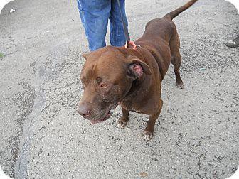 Labrador Retriever/Mastiff Mix Dog for adoption in Gig Harbor, Washington - Hal