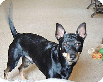 Miniature Pinscher/Manchester Terrier Mix Dog for adoption in Nashville, Tennessee - Jaxon (aka Jax)