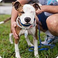 Adopt A Pet :: Bradely - Miami, FL
