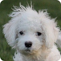 Adopt A Pet :: Doodles - La Costa, CA