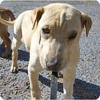Adopt A Pet :: Donatello - Scottsdale, AZ