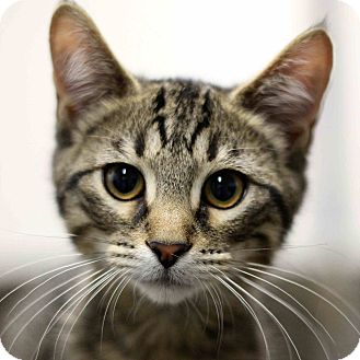 Domestic Shorthair Cat for adoption in Craig, Colorado - George