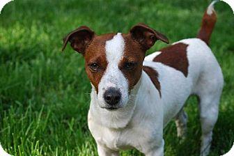Jack Russell Terrier Dog for adoption in Beachwood, Ohio - Kobi