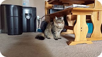 Maine Coon Cat for adoption in San Ramon, California - Teddy