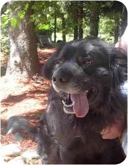 Newfoundland/Flat-Coated Retriever Mix Dog for adoption in Ortonville, Michigan - Benson