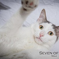 Adopt A Pet :: Seven of Nine (Courtesy Post) - St. Louis, MO
