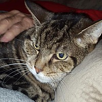 Domestic Shorthair Cat for adoption in Columbus, Ohio - Zane