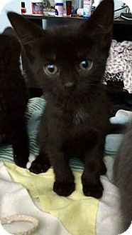 Domestic Shorthair Kitten for adoption in THORNHILL, Ontario - Nightcrawler