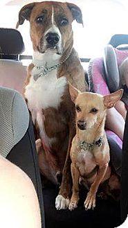 Chihuahua Mix Dog for adoption in Salem, Oregon - Simon