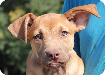Labrador Retriever/Shepherd (Unknown Type) Mix Puppy for adoption in Colonial Heights, Virginia - Pocohantas