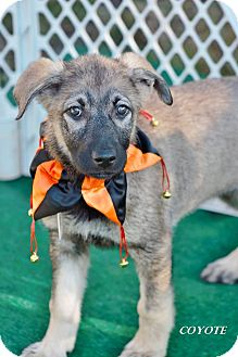 Shepherd (Unknown Type) Mix Puppy for adoption in East Hartford, Connecticut - Coyote-pending adoption