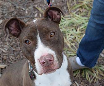 Pit Bull Terrier Mix Dog for adoption in Dallas, Georgia - Riblett