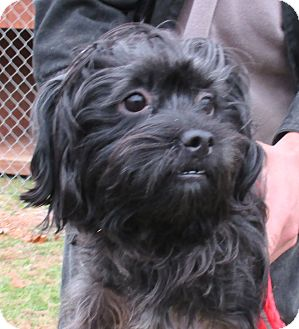 Shih Tzu/Yorkie, Yorkshire Terrier Mix Dog for adoption in Reeds Spring, Missouri - Colonel Mustard
