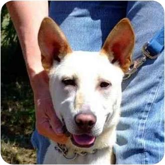 Labrador Retriever/German Shepherd Dog Mix Dog for adoption in Berkeley, California - Buddy