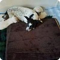 Adopt A Pet :: Joanie - Dallas, TX
