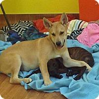 Adopt A Pet :: STARSKY - Albuquerque, NM