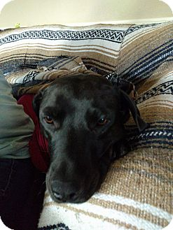Labrador Retriever Mix Dog for adoption in Tucson, Arizona - Cindy