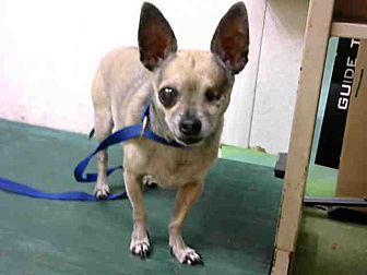 Chihuahua Mix Dog for adoption in San Bernardino, California - URGENT on 8/13@DEVORE San Bern