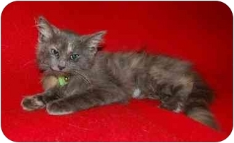 Domestic Longhair Kitten for adoption in Cincinnati, Ohio - Willow