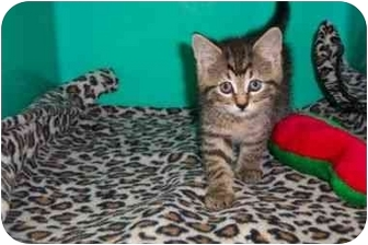 Domestic Shorthair Kitten for adoption in Secaucus, New Jersey - Cheetah