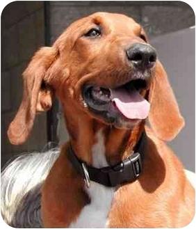 Redbone Coonhound Puppy for adoption in El Segundo, California - Bonnie Boo