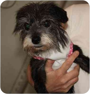 Jack Russell Terrier/Poodle (Miniature) Mix Dog for adoption in Homer, New York - Gigi