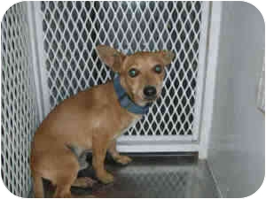 Dachshund/Chihuahua Mix Dog for adoption in Las Vegas, Nevada - RED RAIDER