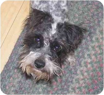 Schnauzer (Miniature)/Terrier (Unknown Type, Small) Mix Dog for adoption in Sacramento, California - Mutters