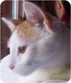 Turkish Van Cat for adoption in Lake Arrowhead, California - Stanley