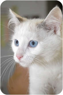 Siamese Kitten for adoption in Murphysboro, Illinois - Swizzle