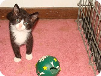 Domestic Shorthair Kitten for adoption in Spotsylvania, Virginia - Bootsie
