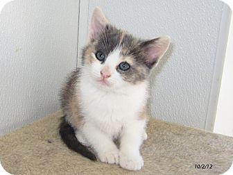 Domestic Shorthair Kitten for adoption in Republic, Washington - Harlequin