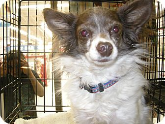 Chihuahua Mix Dog for adoption in Las Vegas, Nevada - Skeeter