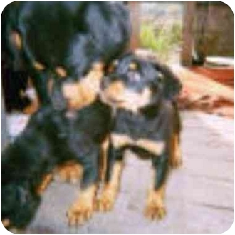 Rottweiler Dog for adoption in Austin, Texas - Circe