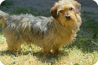 Dachshund Mix Dog for adoption in Yuba City, California - Coco