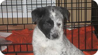 Blue Heeler/Australian Shepherd Mix Puppy for adoption in Oak Creek, Wisconsin - Jack
