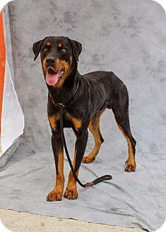 Rottweiler Mix Dog for adoption in Hammonton, New Jersey - stevie