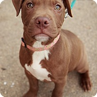 Adopt A Pet :: Harley - Reisterstown, MD