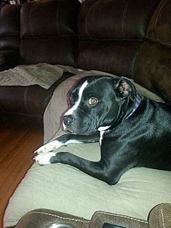 Pit Bull Terrier Mix Dog for adoption in Lake Charles, Louisiana - Sully