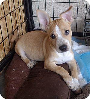 Corgi Mix Puppy for adoption in Quail Valley, California - Too Cute (TC)