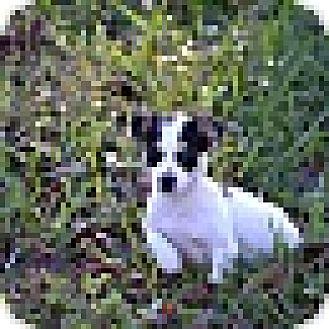 Beagle/Chihuahua Mix Puppy for adoption in Richmond, Virginia - Kimmie