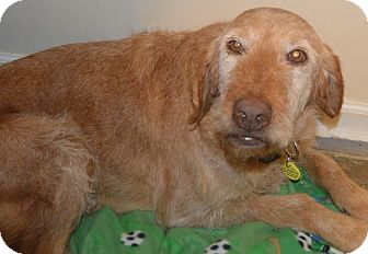 Labradoodle Dog for adoption in Prole, Iowa - Maddy