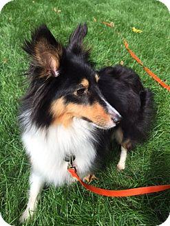 Sheltie, Shetland Sheepdog Dog for adoption in Circle Pines, Minnesota - Jaelyn
