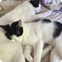 Adopt A Pet :: Samson - Manchester, CT