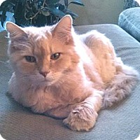 Adopt A Pet :: Bilbo Baggins - Colorado Springs, CO
