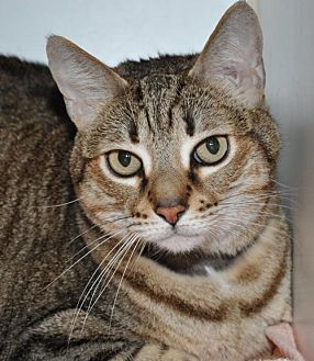 Domestic Shorthair Cat for adoption in Roseville, California - Linnette