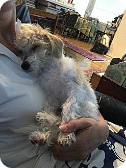 Poodle (Toy or Tea Cup)/Dachshund Mix Puppy for adoption in Taylorsville, Utah - Boomer