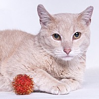 Domestic Mediumhair Cat for adoption in Chicago, Illinois - Nubs